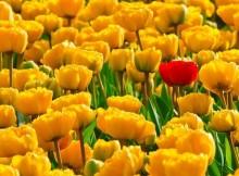 tulpes-ziedai-laukas