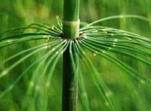 Equisetum arvense dirvinis asiuklis