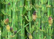 Balinis asiūklis - Equisetum fluviatile