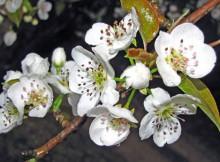 kriauses ziedai