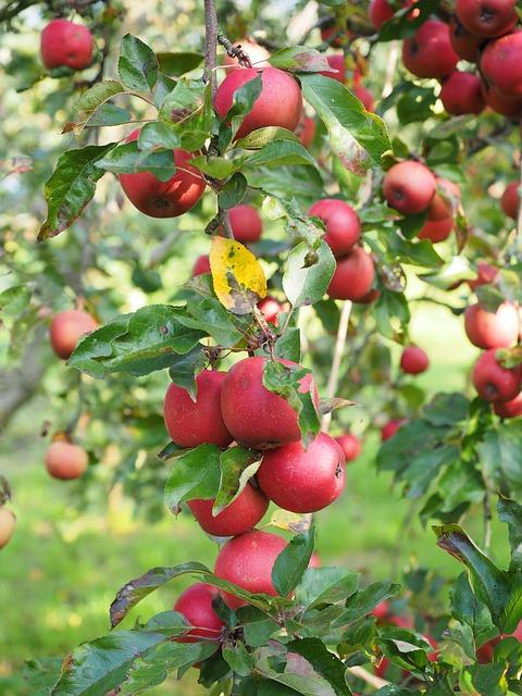 raudoni obuoliai medzio saka