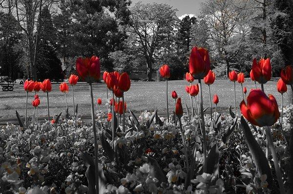 red-tulips-raudonos-tulpes