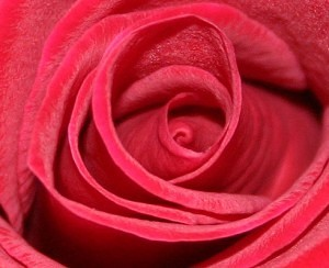 Rožių sodinukų auginimas