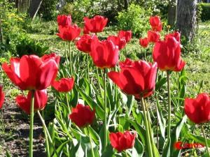 Tulpė