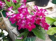 streptocarpus rausvi ziedai