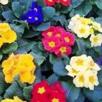 Pavasarinė raktažolė