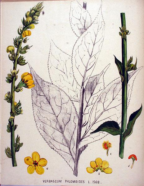 Verbascum_phlomoides-gauruotoji tube