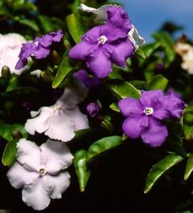 Mažažiedė Brunfelsija, rytdienos gėlė