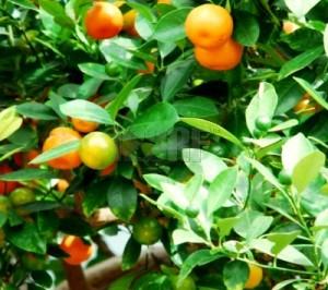 Kinkaninis citrinmedis