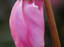 Cyclamenum persicum persikines ciklamenos ziedas