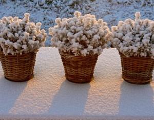 Augalų apsauga nuo šalčio