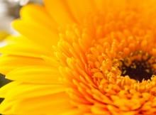 orange-gerbera-oranzinis-gerberos-ziedas