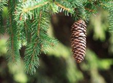 spruce-cone-egle-saka-konkorezis
