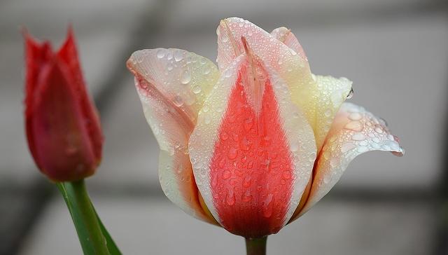 tulip-tulpiu-ziedu-prazydinimas