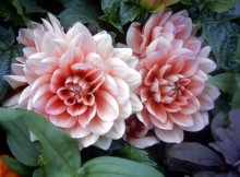 Kambarinės gėlės