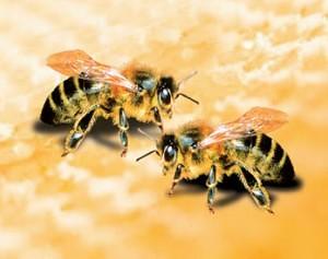 bitės. bitininkystė. medus