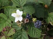 Paprastoji gervuogė -Rubus caesius
