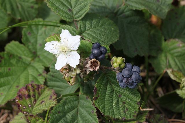 Paprastoji gervuogė-Rubus caesius