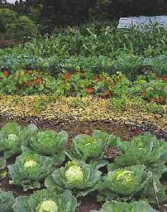 daržovių priežiūra