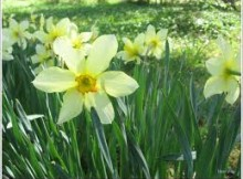 Narcizai