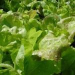 salotų auginimas