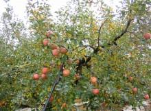 Obelų ir kriaušių genėjimas