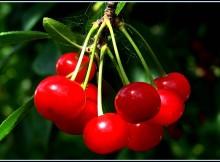 Vyšnių ir trešnių genėjimas