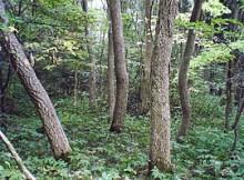Amurinis kamštenis