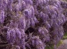 vijokliniai augalai