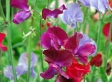 Gėlių išnešimas į lauką