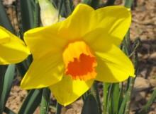 Narcizas