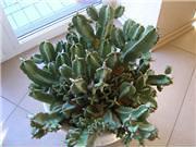 Cereusas