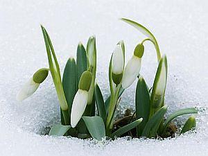 snieguolė1