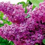 alyvos violetines