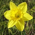 geltonas narcizas1