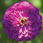 gvaizdune ziedas