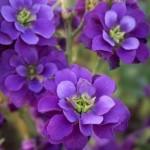 leukonijos ziedeliai