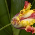 tulpes ziedas