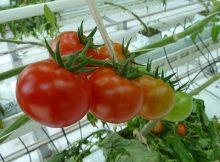 pomidorai siltnamis